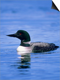 Adult Common Loon (Gavia Immer), Northern Saskatchewan, Canada Posters by Wayne Lynch