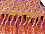 Sensory hair of inner ear (rat) Posters by  Micro Discovery