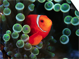Spine-Cheek Anemonefish and Sea Anemone Posters by Frank Burek