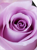 Light Purple Rose Plakater af Clive Nichols
