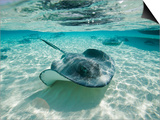 Southern Stingrays Swimming at Stingray City Kunstdrucke von Paul Souders