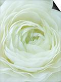 Close-up of White Flower Plakat af Clive Nichols