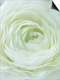 Close-up of White Flower Print by Clive Nichols
