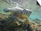 Green sea turtle approaching camera Poster by Tim Davis