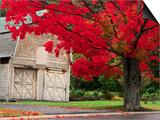 Árbol con hojas rojas y granero Lámina por Mark Karrass