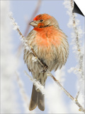 Male house finch on hoarfrost-covered tree in winter Prints by Scott T. Smith