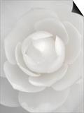 White camellia Poster af Clive Nichols
