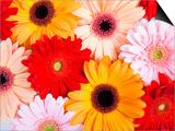 Gerbera daisies Prints by Frank Lukasseck