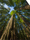Redwood forest in Humboldt Redwood State Park Posters by John Eastcott & Yva Momatiuk
