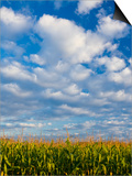 Corn Plants and Sky Posters by Jim Craigmyle