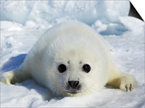 Harp Seal on the Ice in the Gulf of St Lawrence, Maritime Provinces, Canada Print by Rolf Hicker
