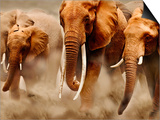 African Elephants Prints by Martin Harvey