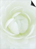 White Petals of Flower Posters af Clive Nichols