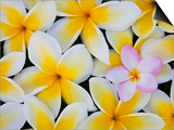 Frangipani Flowers Posters by Darrell Gulin
