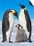 Emperor penguins with chicks Prints by Frank Krahmer