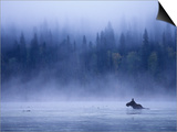 Moose Swimming in Bowron Lake Provincial Park, British Columbia, Canada. Prints by Chris Harris