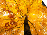 A Sugar Maple (Acer Saccharum) in Fall Colours, Mississagi Provincial Park, Ontario, Canada Prints by Ethan Meleg