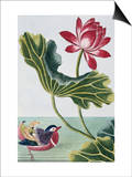 18th Century French Print of Red Water Lily of China II. Affiche par  Stapleton Collection