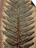 Carboniferous Fossil Fern Prints by Kevin Schafer