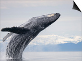 Humpback Whale Breaching in Frederick Sound Prints by Paul Souders
