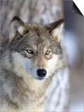 Gray Wolf Prints by Frank Lukasseck