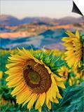 Sunflower, Camerino Art by Maurizio Rellini