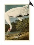 Hooping Crane Print by John James Audubon