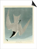Marsh Tern Affiches par John James Audubon