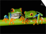 Red-eyed Tree Frogs Posters by Kevin Schafer
