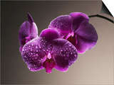Water Drops on Orchids Prints