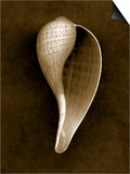 Graceful Fig Shell 2 Art by John Kuss