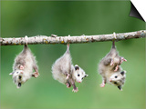 Baby Opossum Hanging from Branch Posters by Frank Lukasseck