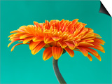 Orange Gerbera Daisy Posters af Clive Nichols