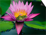 Frog on Waterlily in Urban Pond; Leo Mol Garden; Assiniboine Park, Winnipeg, Manitoba, Canada. Plakater af Mike Grandmaison