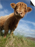 Shaggy haired highland cow Posters by Macduff Everton