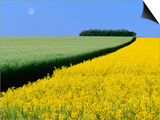 Barley Next to Blooming Canola Plants Prints by Dave Reede