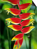 Heliconia, Trinidad, West Indies Prints by Wayne Lynch