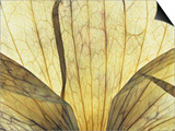 Translucent Petals 9 Prints by David Roseburg