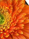 Orange Gerbera Daisy Poster af Clive Nichols