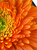 Orange Gerbera Daisy Poster by Clive Nichols