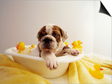 Bulldog Puppy in Miniature Bathtub Poster by Larry Williams