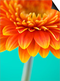 Orange Gerbera Daisy Prints by Clive Nichols