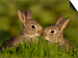 Young Rabbit Kits Rubbing Noses Prints by Andrew Parkinson