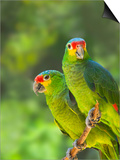 Red-lored parrots in Honduras Poster by Keren Su