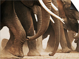 Elephant Herd on the Move Posters by Martin Harvey