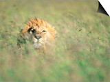 Male Lion Resting in Tall Grass Prints by Paul Souders