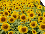 Field of Sunflowers, Full Frame, Zama City, Kanagawa Prefecture, Japan Prints