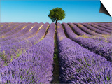 Lavender Field and Almond Tree in Provence Prints by Frank Krahmer