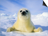 Newborn Harp Seal (Phoca Groenlandica) Pup (yellowcoat), Gulf of the St. Lawrence River, Canada. Na Art by Wayne Lynch
