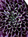 Close-up of Chrysanthemum Flower Posters by Clive Nichols